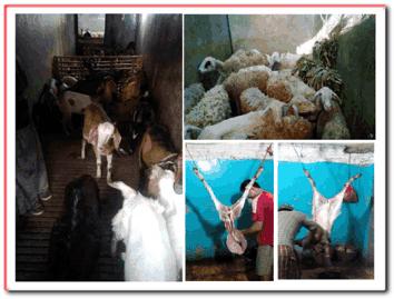 Harga Daging Domba Terjangkau Di UD Soleh