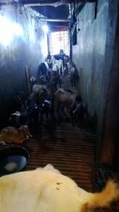 Jual daging kambing di Pangkalpinang