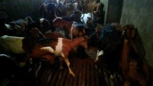 Harga Daging Kambing Hidup Di Indonesia