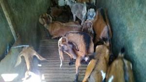 Info harga daging kambing