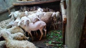Ternak kambing dengan bibit harga