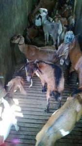 Ternak kambing  bibit harga terjangkau