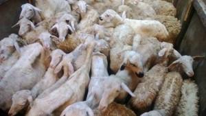 Cara beternak kambing dengan pakan fermentasi