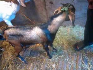 Cara beternak kambing dengan pakan fermentasi hkjl