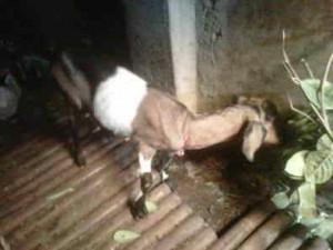Pakan ternak kambing jawa alamiah