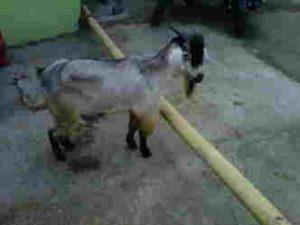 Jual bibit kambing Ambarawa