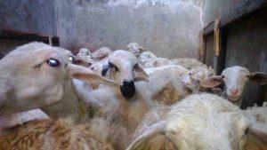 Jual bibit kambing Bantul