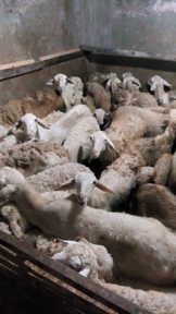 Jual bibit kambing Bawen