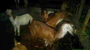 Fermentasi pakan ternak kambing