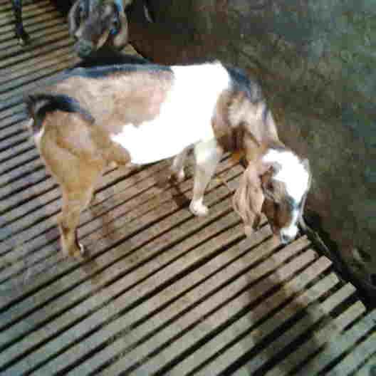 Kandang kambing modern