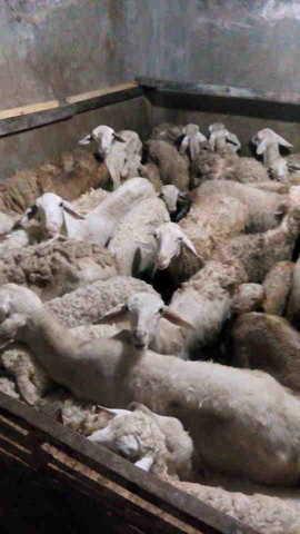 Ternak kambing gibas secara tradisional