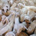 Cara ternak domba yang sudah menjadi tradisi