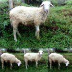 Cara ternak kambing gibas