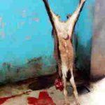 Karkas daging kambing halal kualitas terpercaya