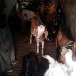 Peluang ternak kambing dengan cara konvensional