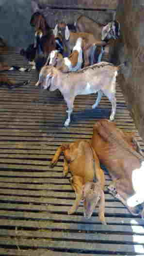 Daging kambing halal di Los Angeles
