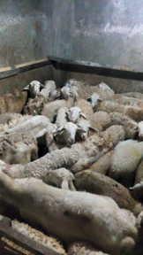 Cara membuat tongseng kambing
