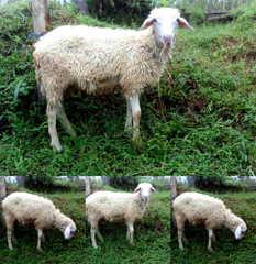 Daging kambing halal di Brussels
