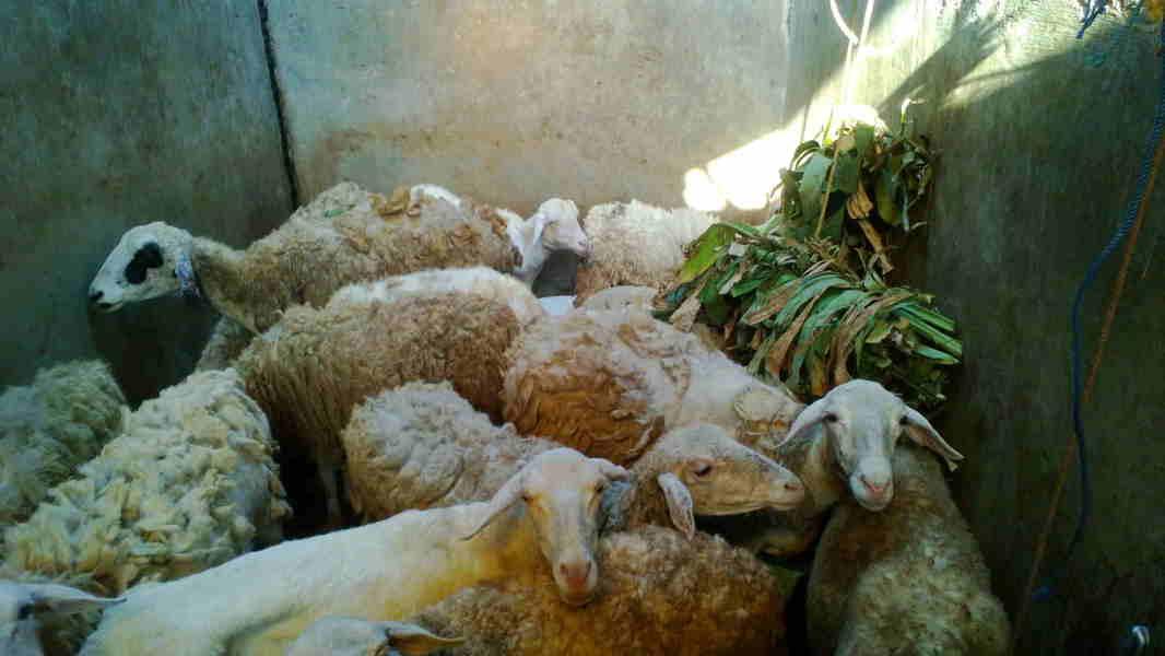 Daging kambing halal di Riyadh