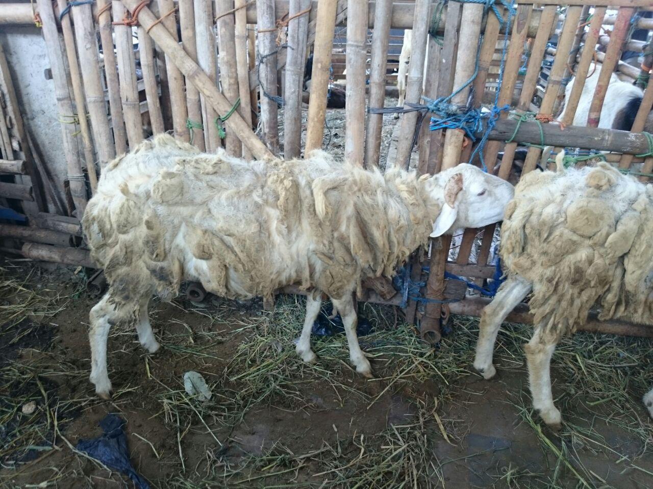 Harga domba qurban murah 123
