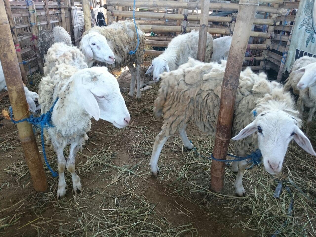 Harga domba untuk kurban