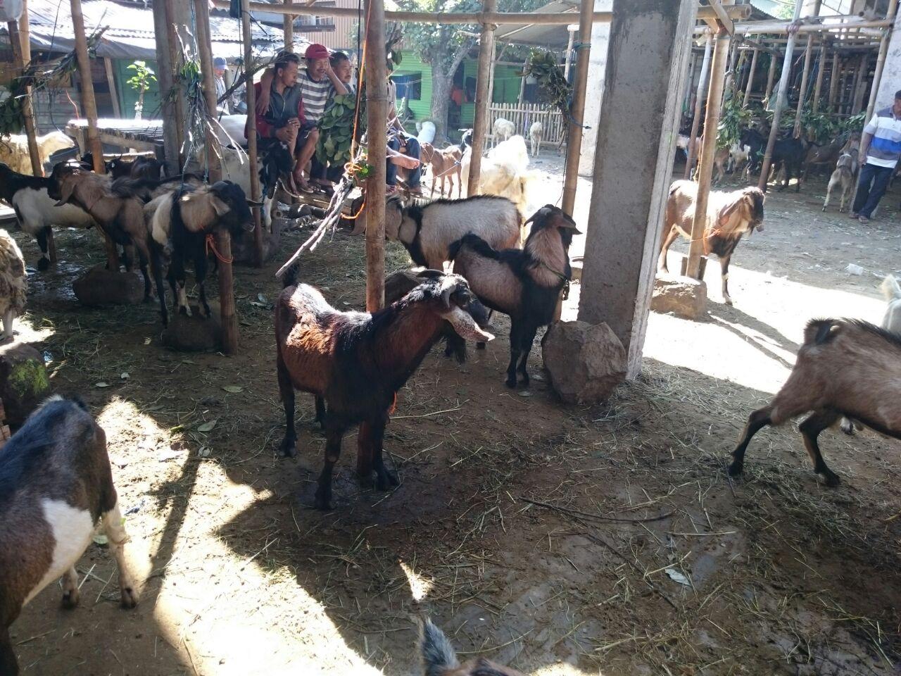 Harga hewan qurban kambing Rp 1,5 Jt