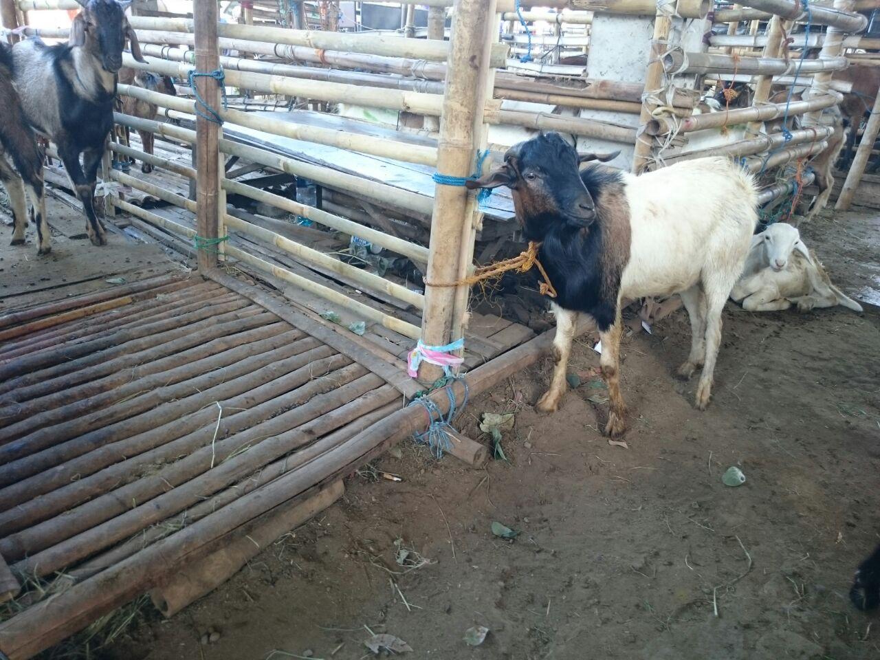 Harga jual kambing