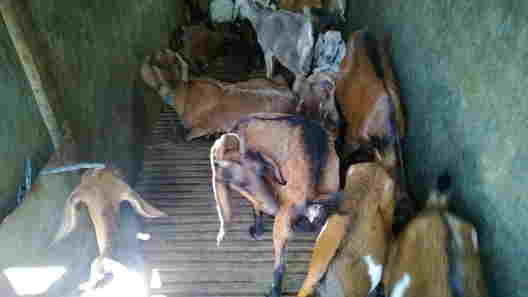 Harga daging kambing Surabaya 2019